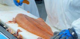 Los Lagos: sube valor de salmón exportado y volúmenes enviados